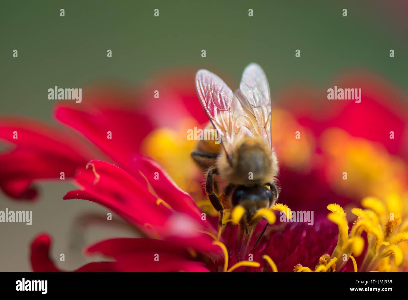 Honey bee on red zinnia flower - Stock Image