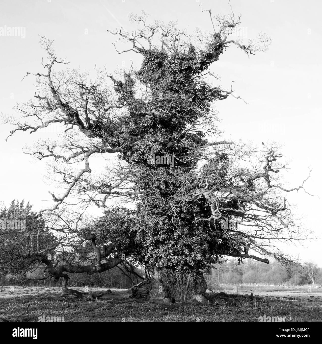 Ancient Oak with Large Girth in Winter Stock Photo
