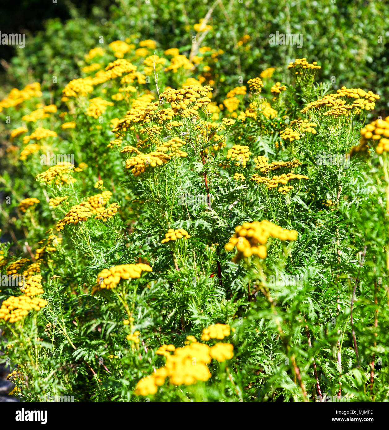 The yellow flowers of a common Tansy (Tanacetum vulgare), a perennial, herbaceous flowering plant of the aster family - Stock Image