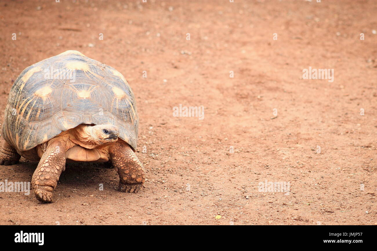 The angonoka tortoise (Astrochelys yniphora) is a critically endangered species of tortoise endemic to Madagascar. - Stock Image