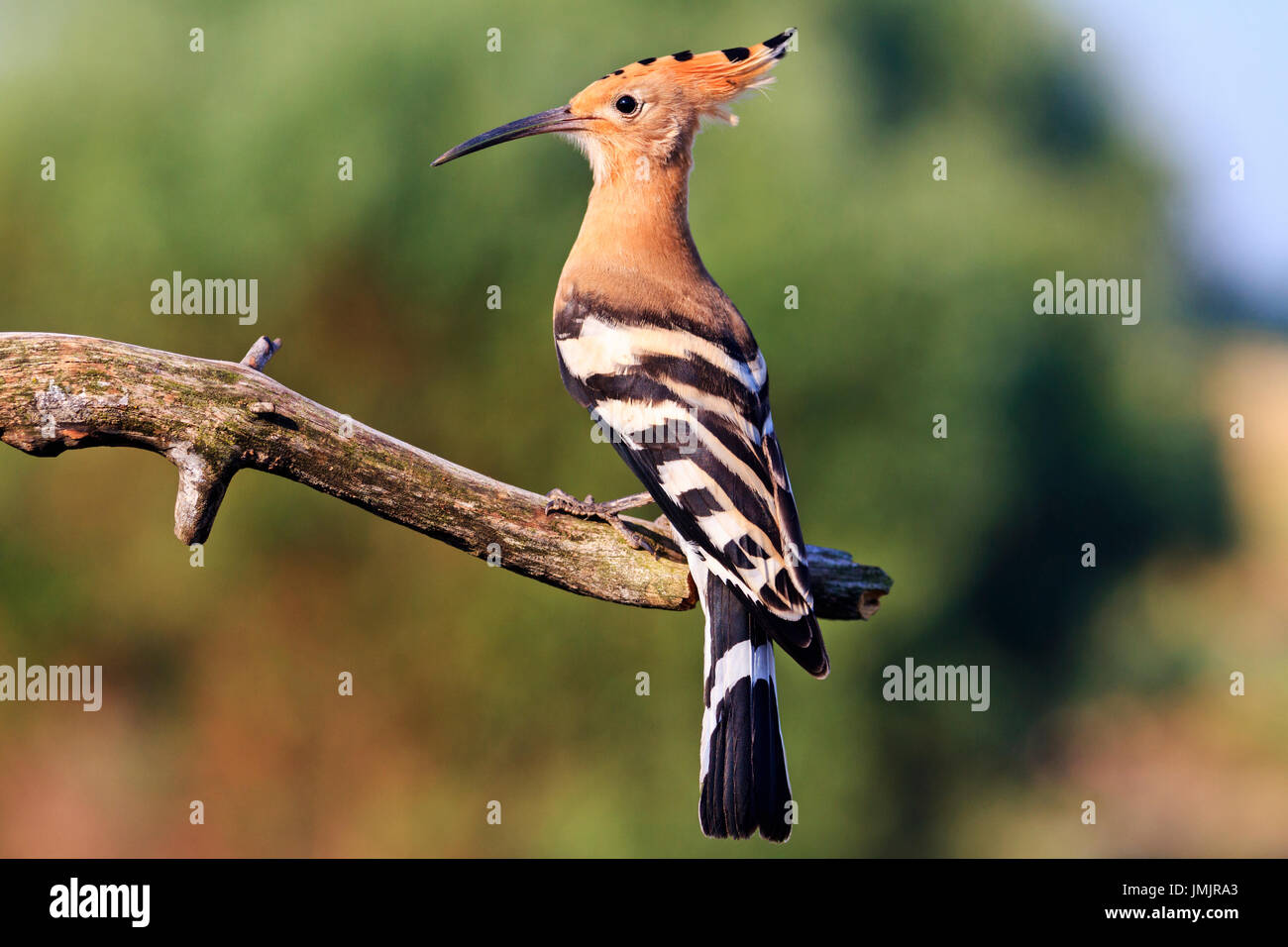 rare bird with a bang on the head,wildlife - Stock Image