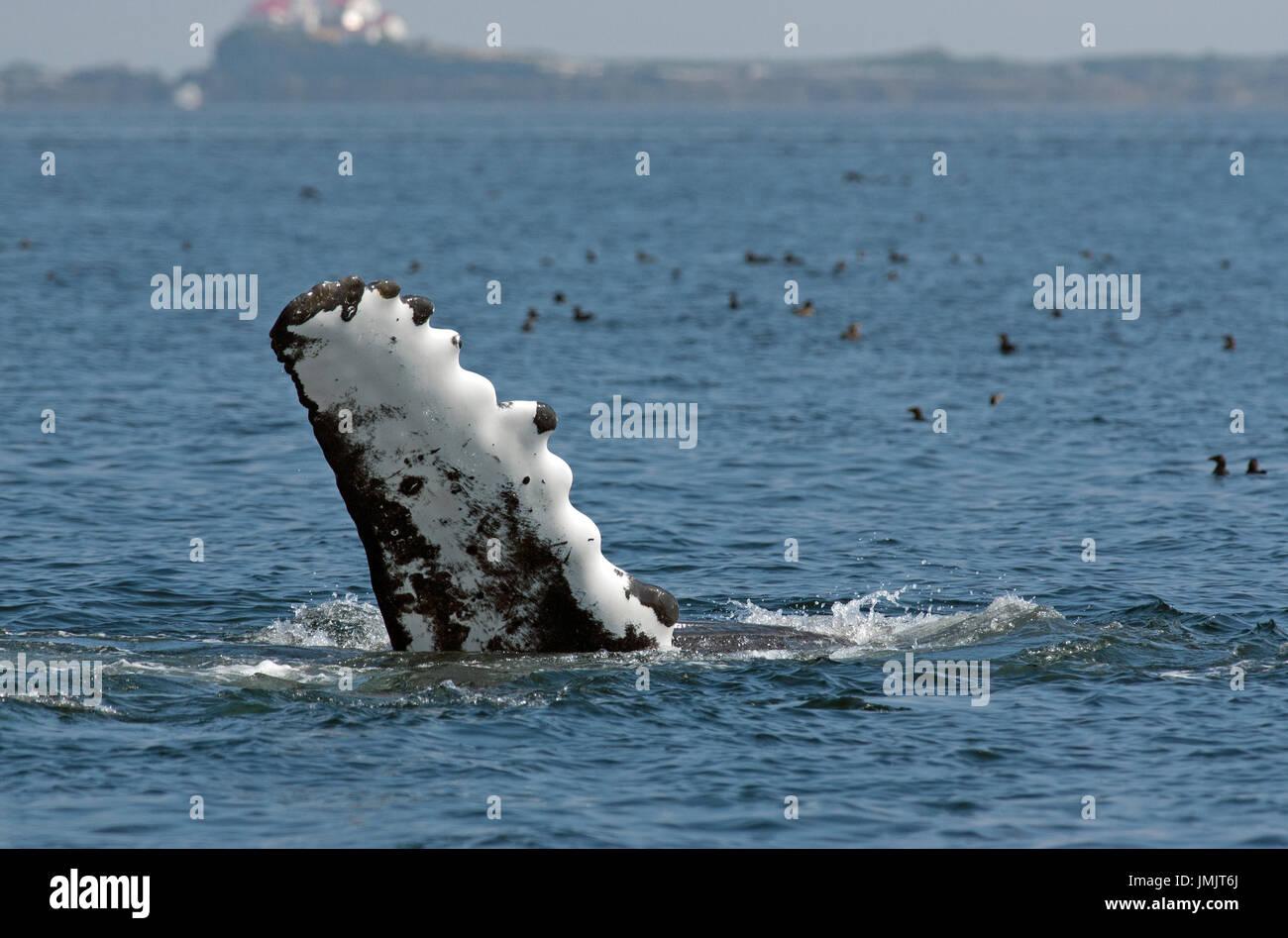 Humpback whale flipper (Megaptera novaeangliae), Inside Passage, British Columbia, Canada Stock Photo