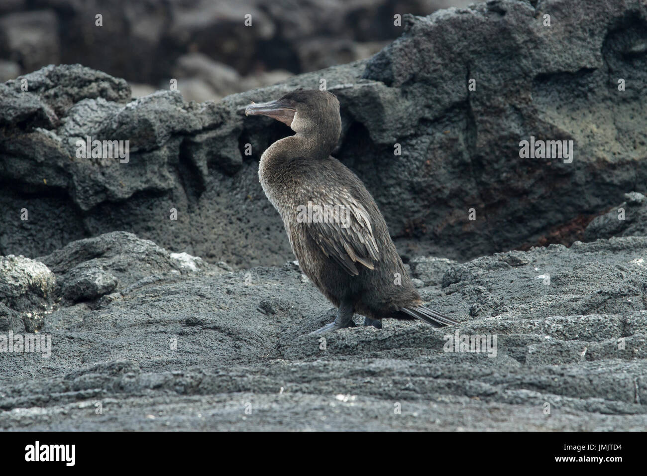 Flightless Cormorant - Cormorán no volador - Galápagos Islands - Stock Image