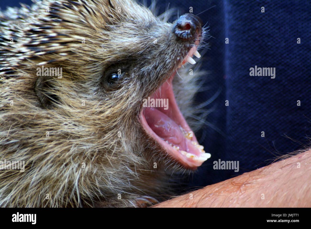 Hedgehog (Erinaceus europaeus) - Stock Image