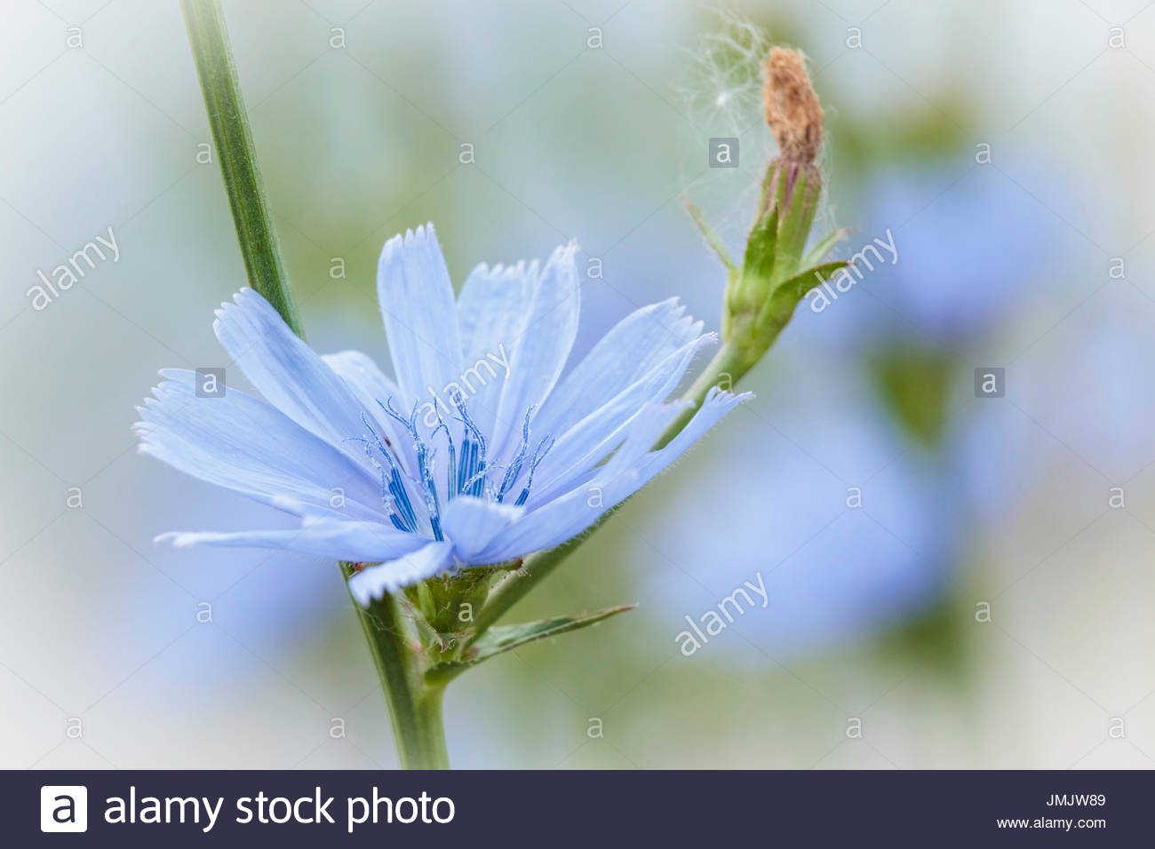 chicory Cichorium intybus Asteraceae flower wildflower blue daisy blue dandelion blue sailors blue weed bunk coffeeweed - Stock Image