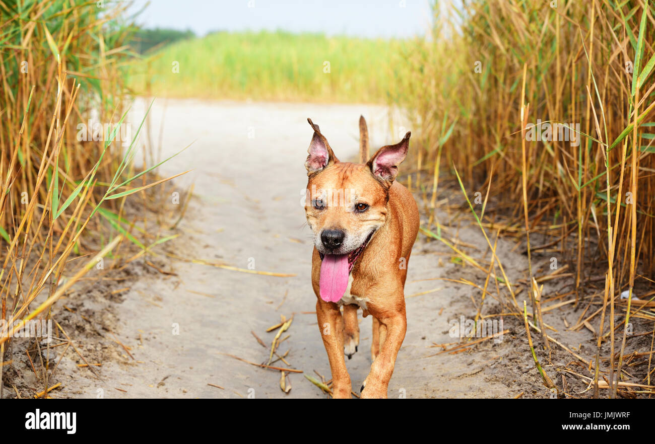 Walking in the middle of a reed red American pit bull terrier, a summer day Stock Photo