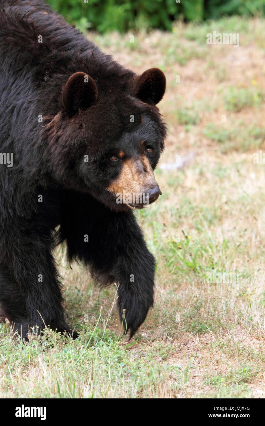 An American Black Bear, Ursus americanus - Stock Image