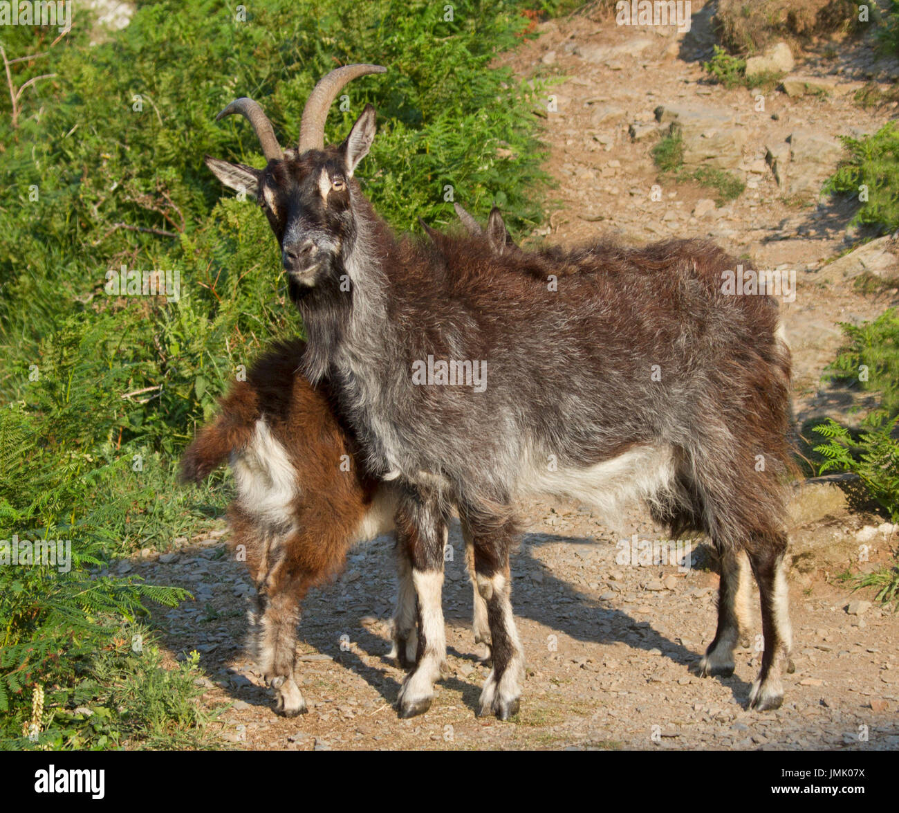 Wild brown goat with kid in the highlands of Scotland - Stock Image