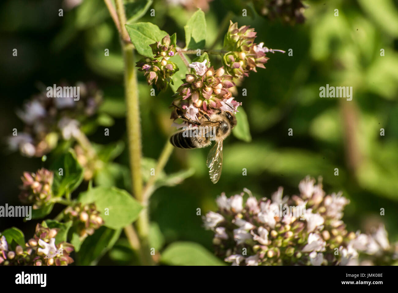 close up of a honey bee extracting nectar form the blooms on a oregano plant in an organic garden - Stock Image