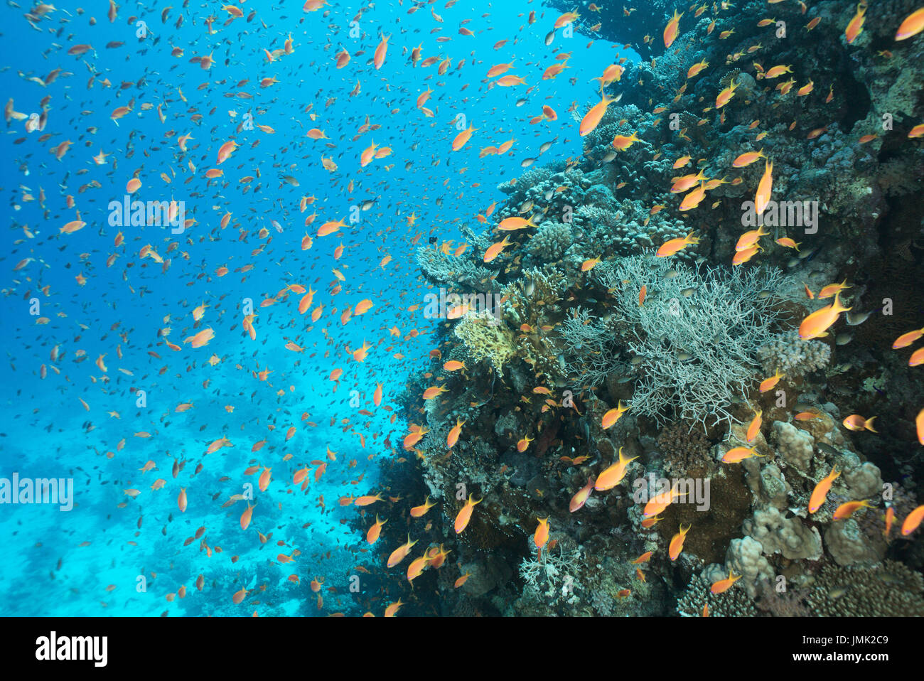Thousands of red anthias fish at the coral reef in the Red Sea, Egypt. - Stock Image