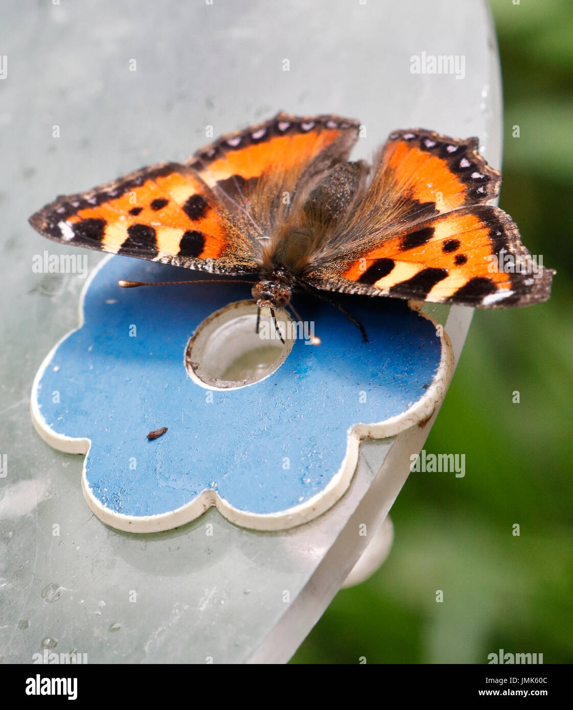 Small Tortoiseshell Butterfly .Aglais urticae Stock Photo