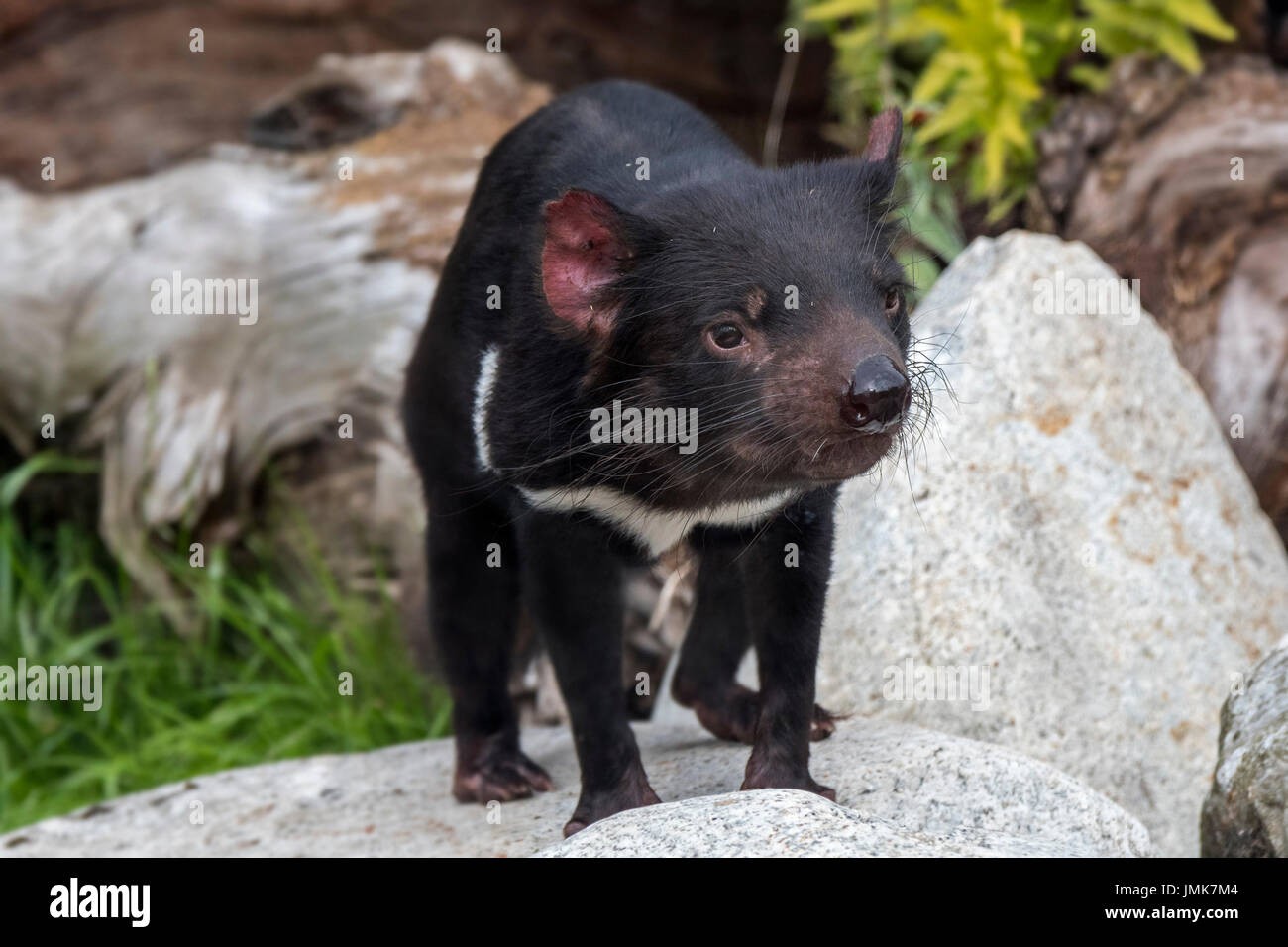 Tasmanian devil (Sarcophilus harrisii), largest carnivorous marsupial native to Australia Stock Photo
