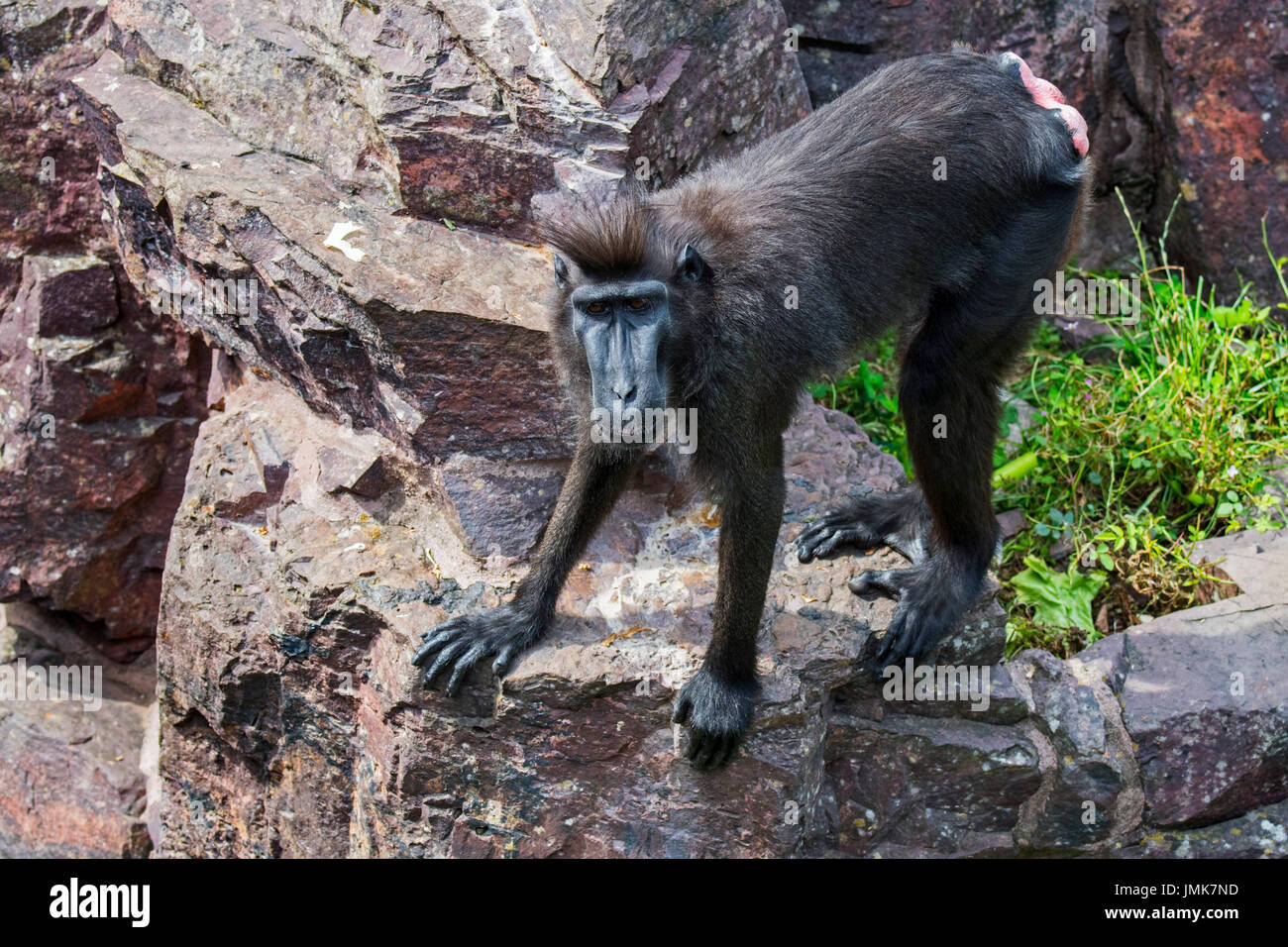 Celebes crested macaque / crested black macaque / Sulawesi crested macaque / black ape (Macaca nigra) female, native to Sulawesi - Stock Image