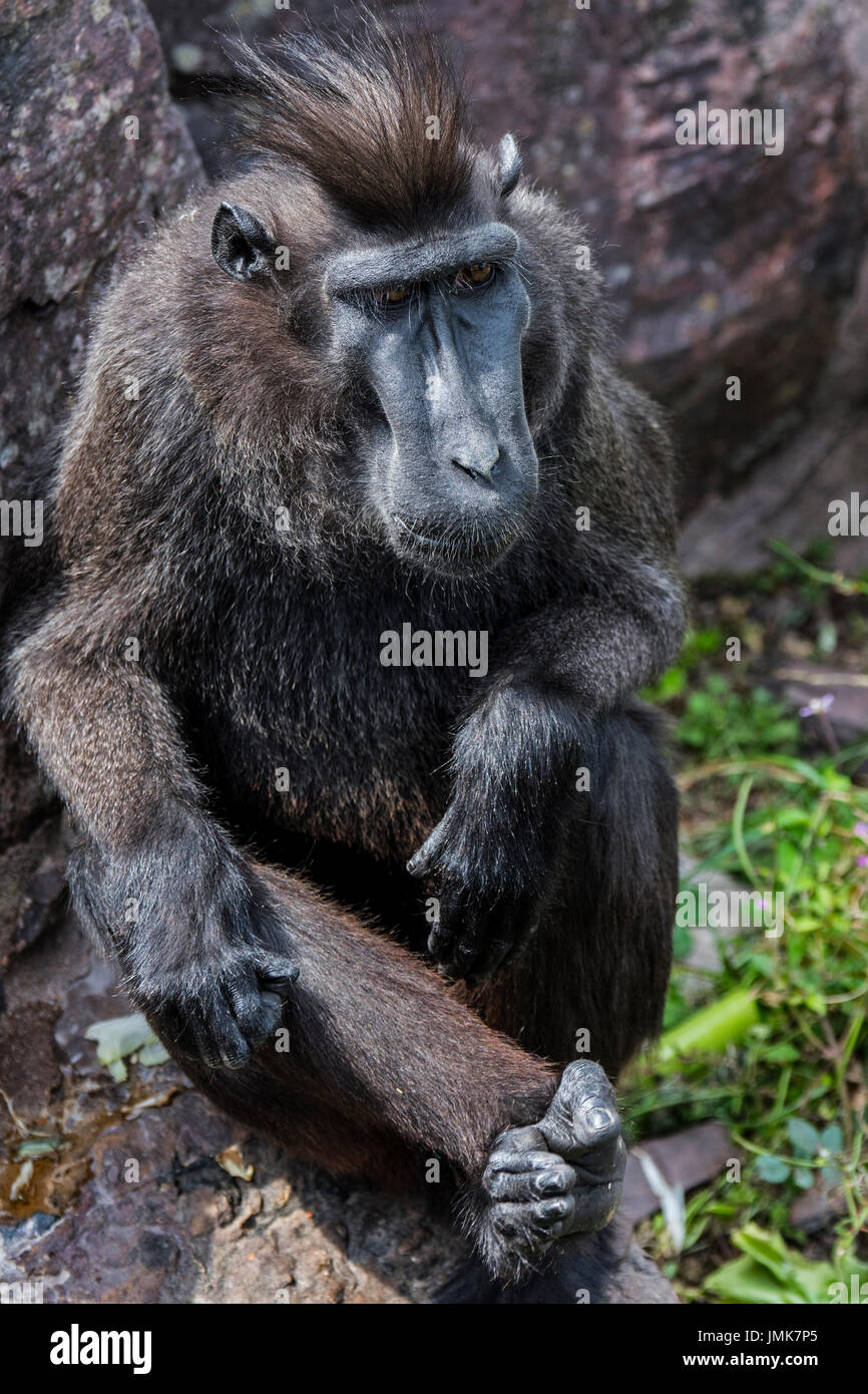 Celebes crested macaque / crested black macaque / Sulawesi crested macaque / black ape (Macaca nigra) native to the Indonesian island of Sulawesi - Stock Image