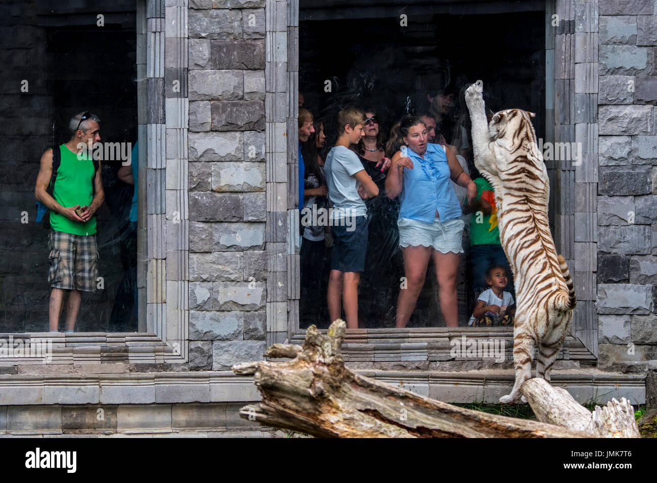 White tiger / bleached tiger (Panthera tigris) trying to attack frightened visitors behind glass pane in zoo - Stock Image
