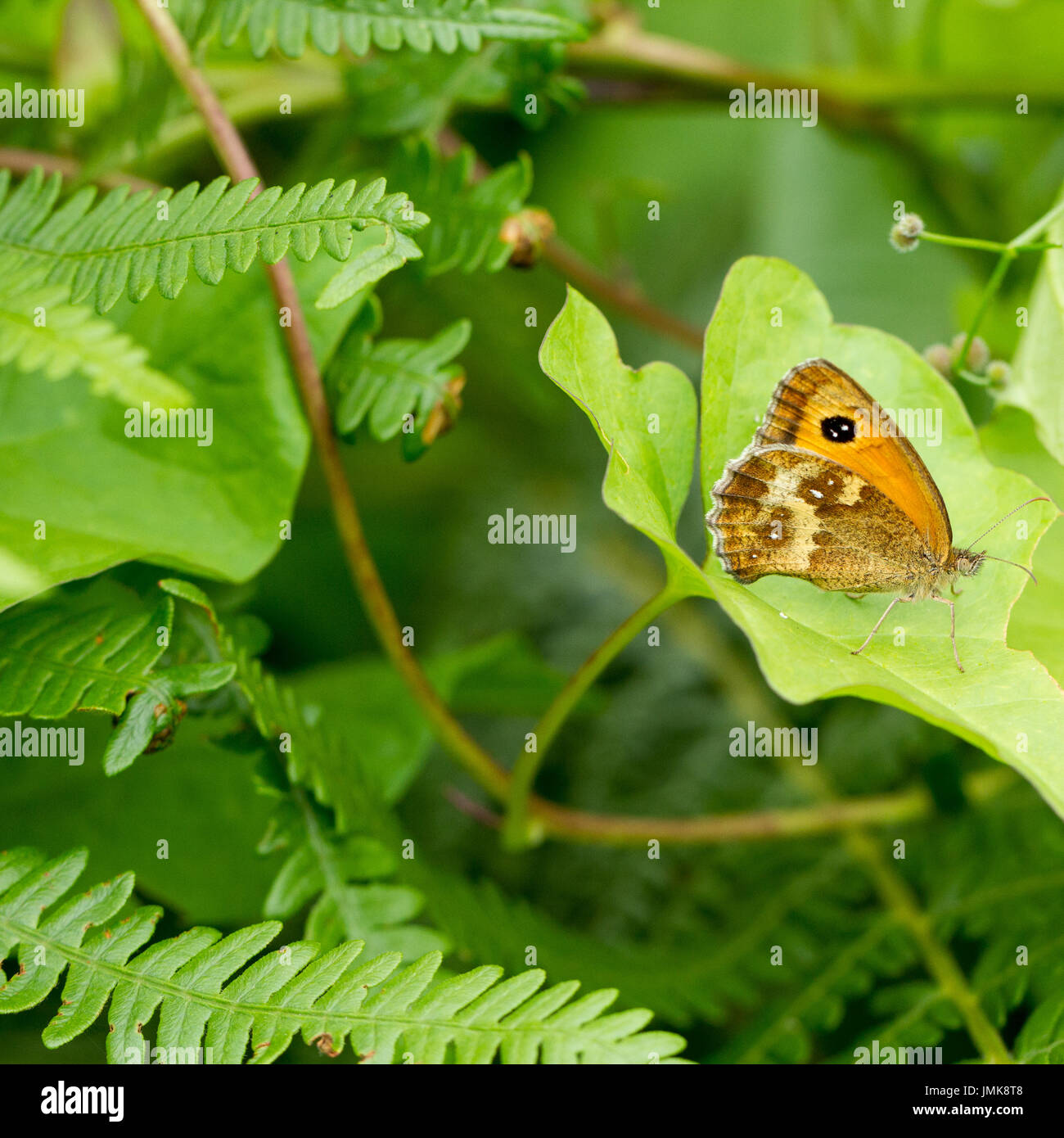 Pyronia tithonus, Gatekeeper butterfly, or hedge brown, on a leaf in an English woodland in summertime, Hampshire, England, UK - Stock Image
