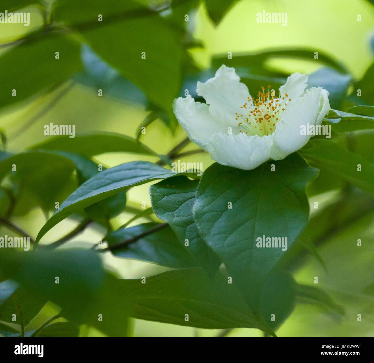 Theaceae White Tea Stock Photos Theaceae White Tea Stock Images