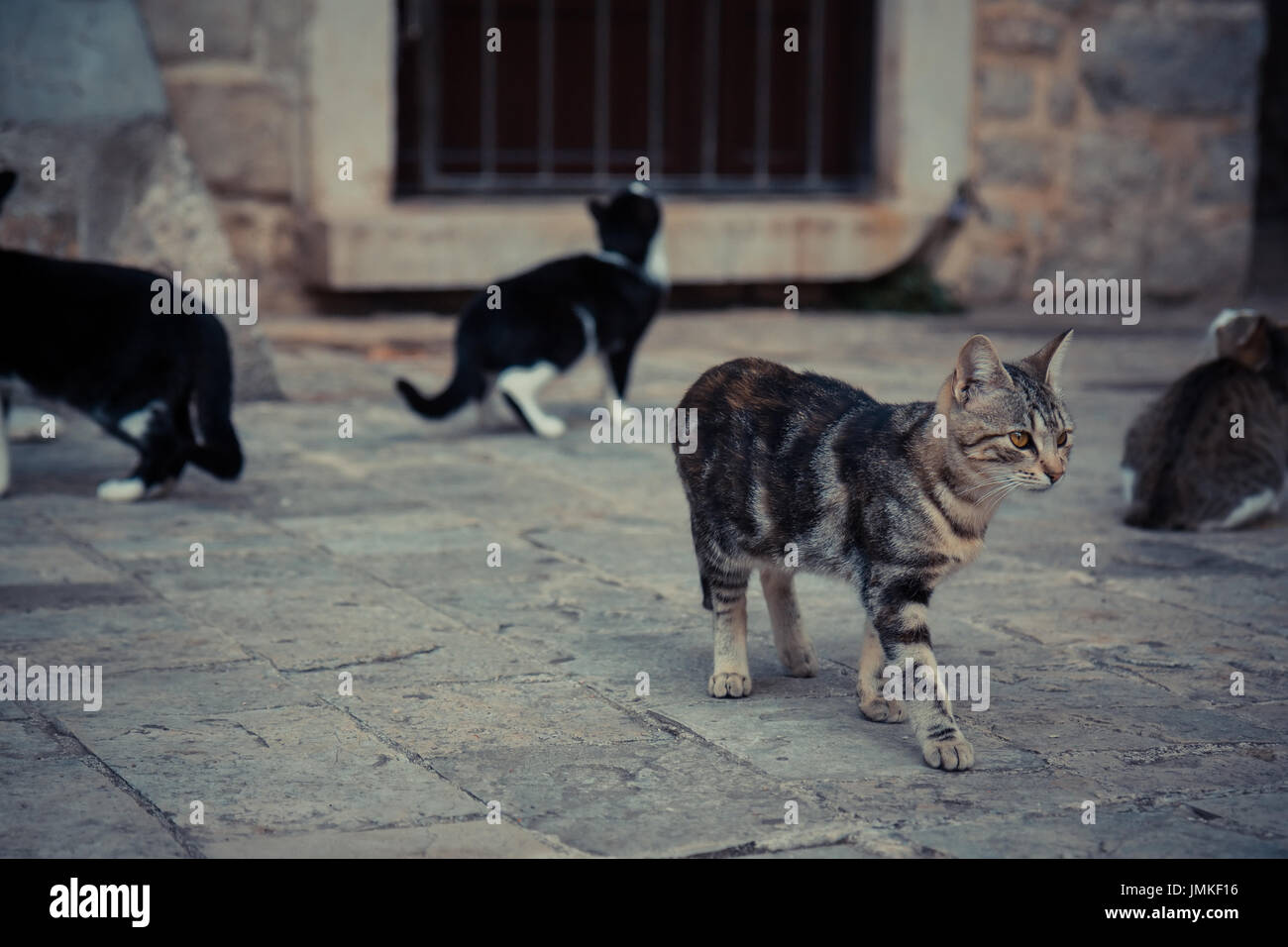 Impressive domestic cat  walking in old Europe town street in vintage style Stock Photo