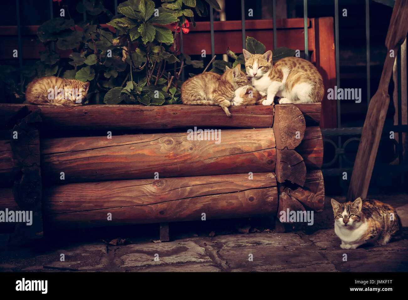 Cute red cats family with kitten resting on wooden logs in rural countryside village in vintage rustic style - Stock Image