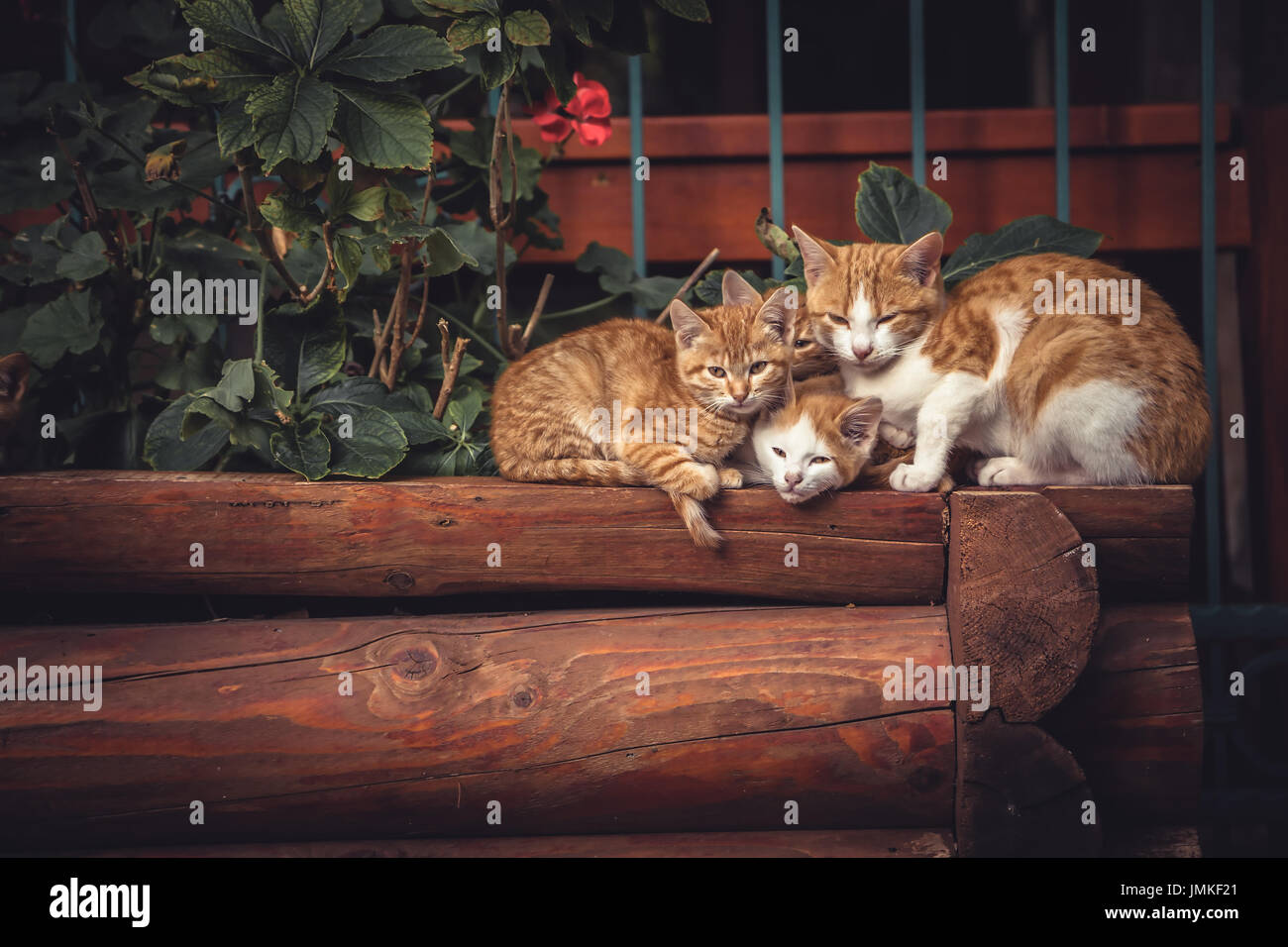 Cute red cats family together with kitten resting on wooden logs in rural countryside village in vintage rustic style - Stock Image