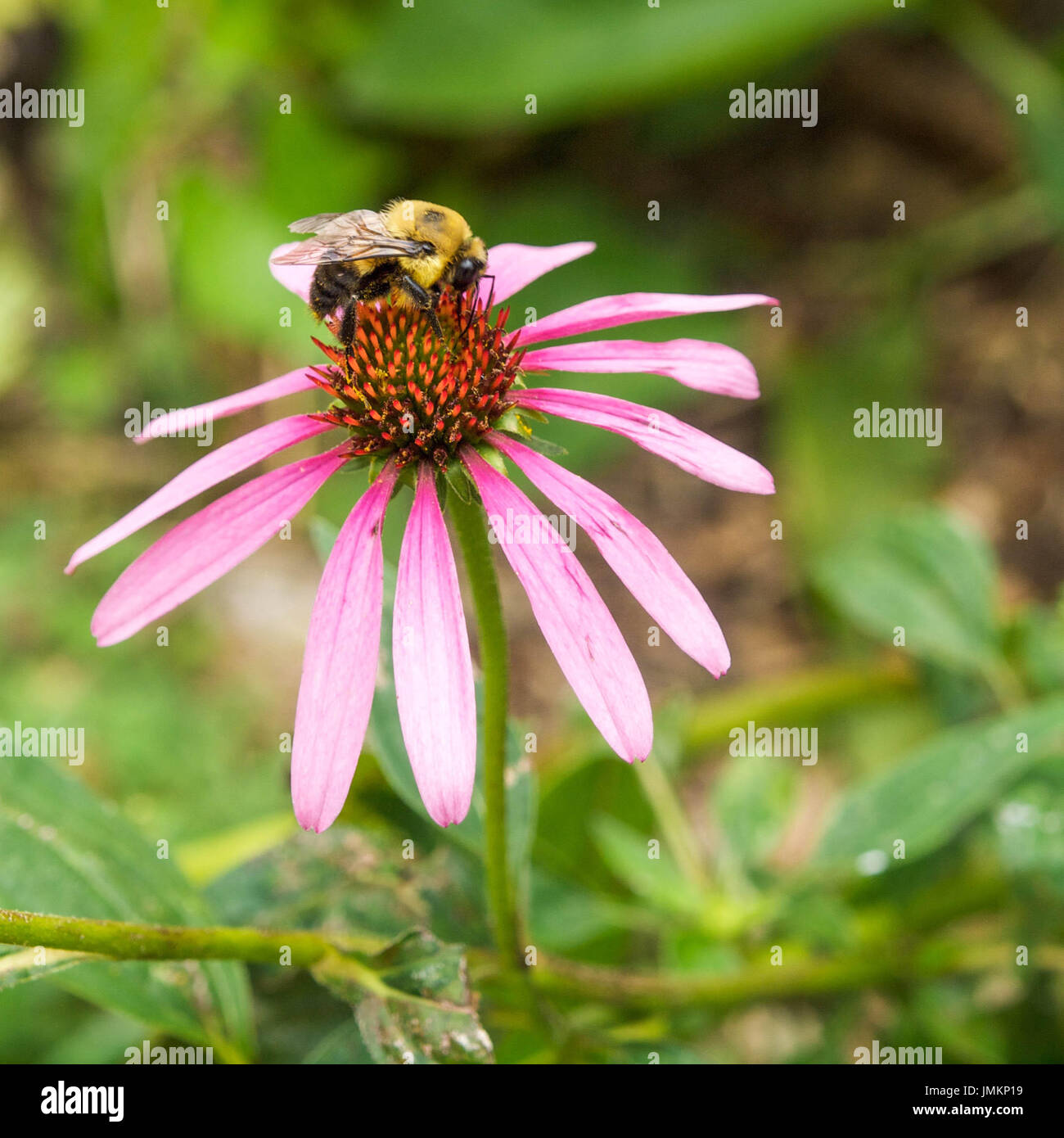 Bumble Bee on Purple Cone Flower - Stock Image