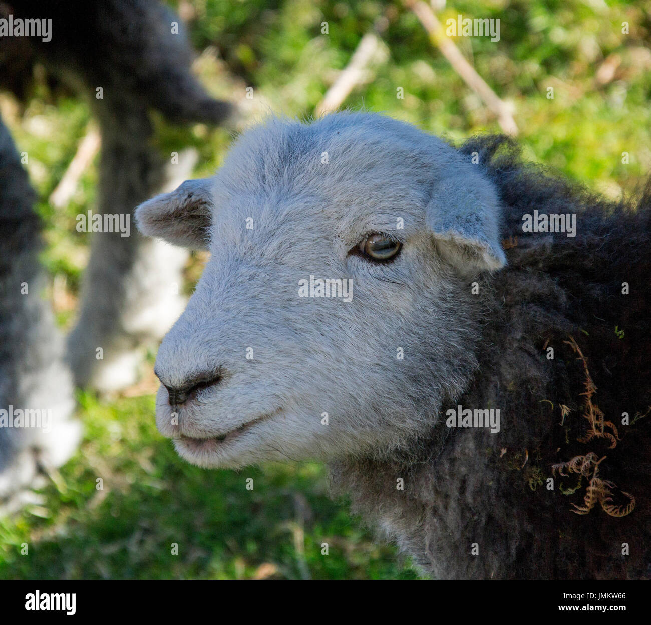 Face of brown and white Herwick sheep ewe in Lake District, England - Stock Image