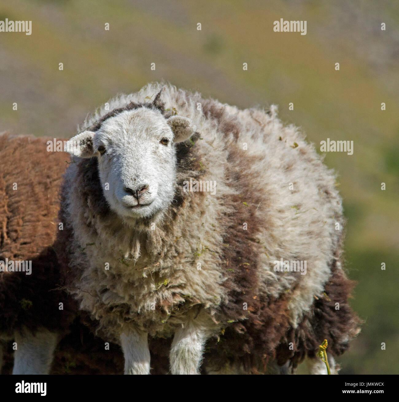 Herwick sheep ewe staring at camera, in Lake District, England - Stock Image