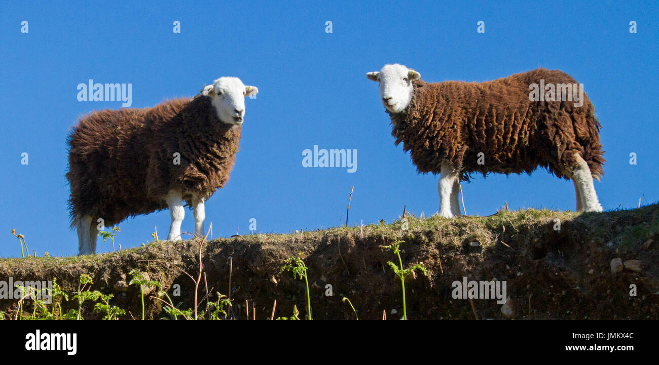 Panoramic view of two brown and white Herdwick sheep against blue sky in Lake District, England - Stock Image