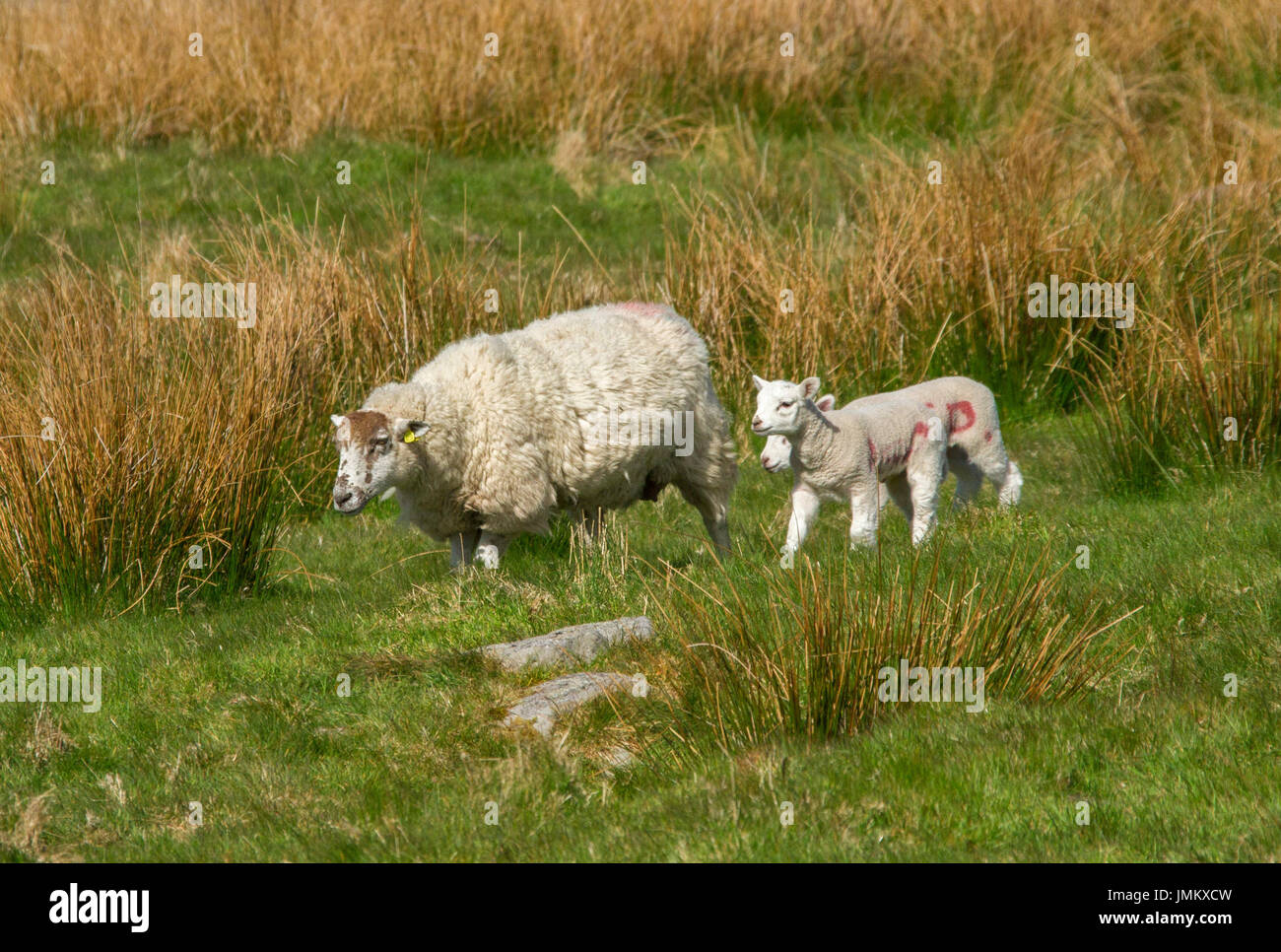Herdwick sheep, heritage breed, with lambs in Lake District, England - Stock Image