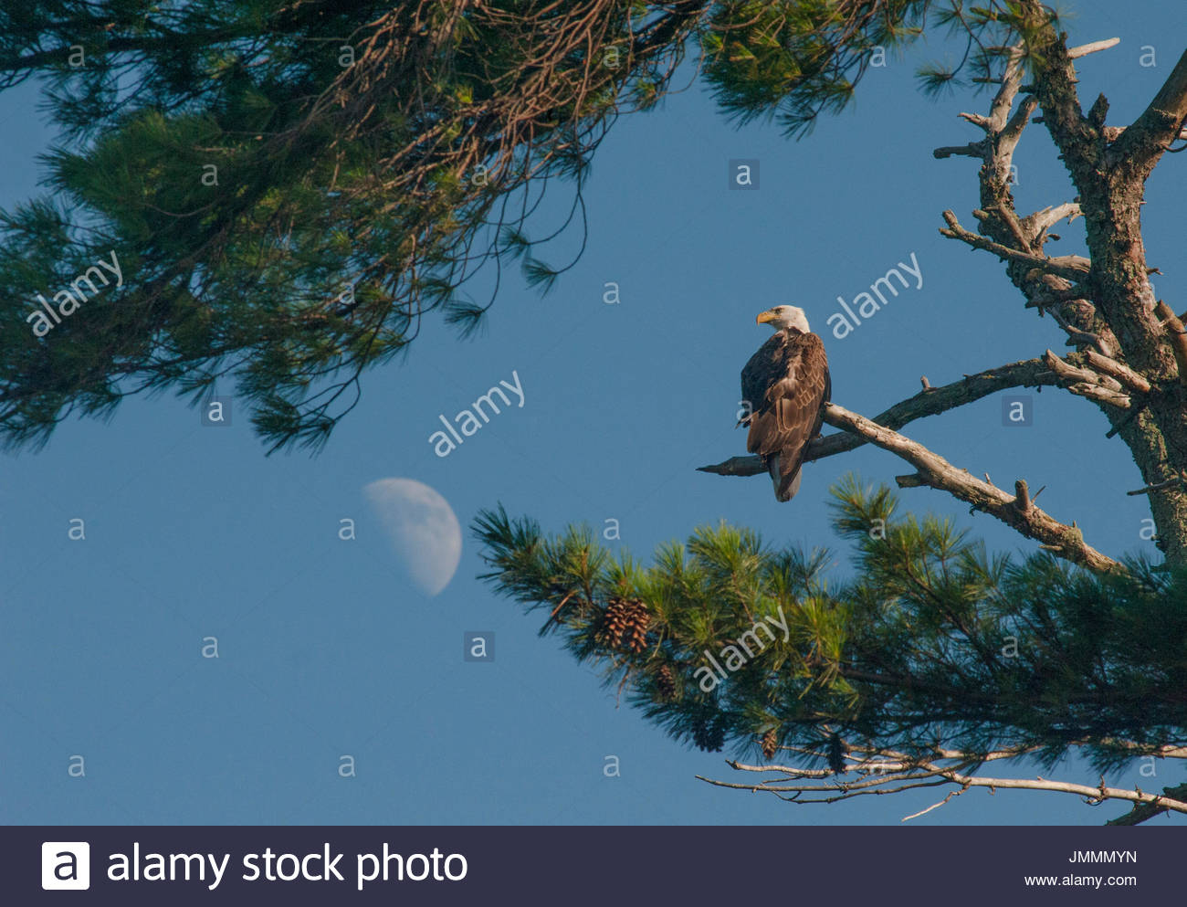 The moon hovers behind a bald eagle perching in a white pine tree. - Stock Image