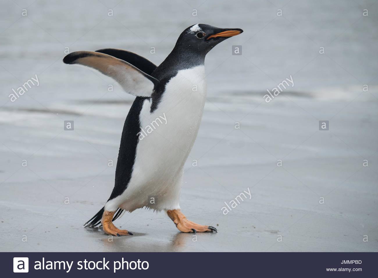 A Gentoo penguin walks across wet sand. - Stock Image