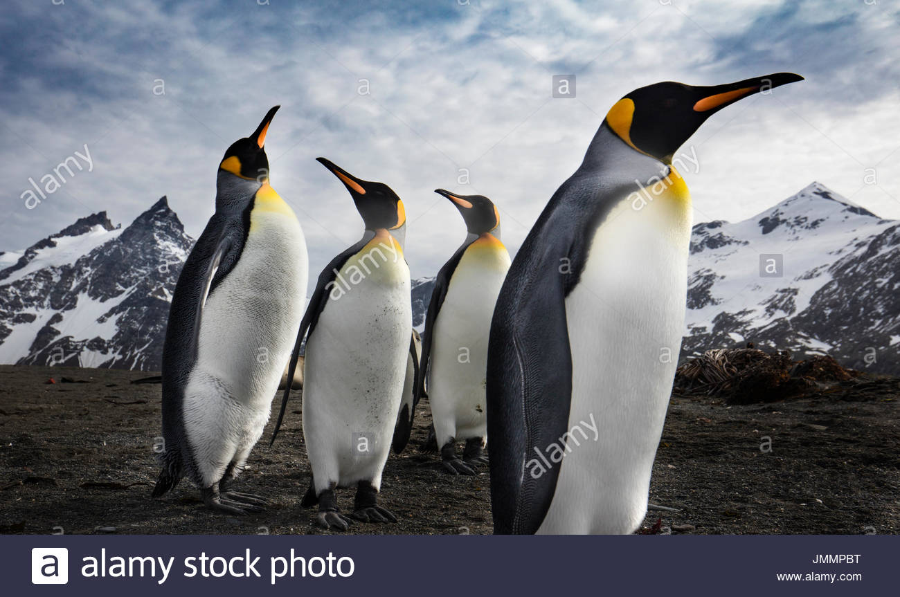 King penguins stand in the foreground with snow covered mountains beyond. - Stock Image