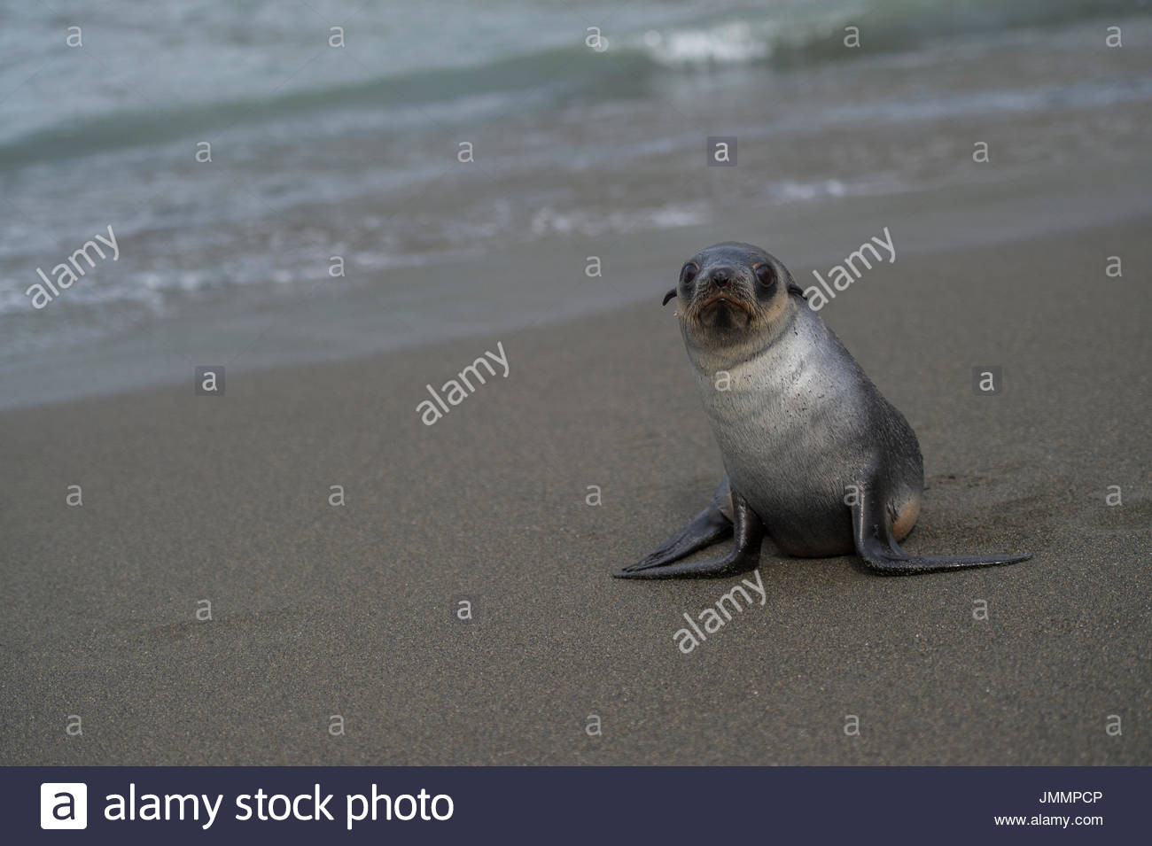 Antarctic fur seal, Arctocephalus gazella, on a beach on South Georgia. - Stock Image