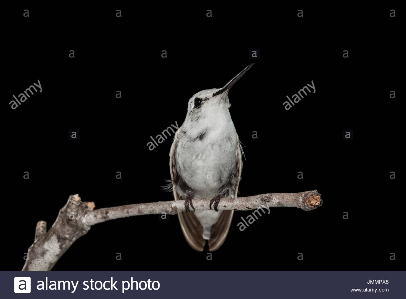 An extremely rare leucistic female Anna's Hummingbird, Calypte anna, in a flight cage. - Stock Image