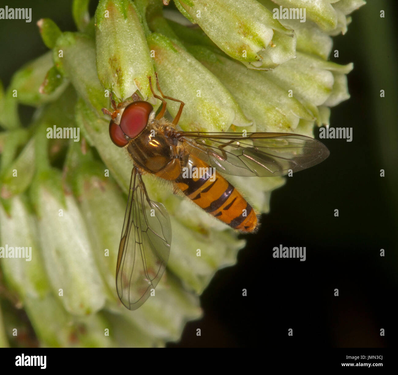 Striped hoverfly, a beneficial pollinating insect, with huge eyes clearly visible, on flower in English garden - Stock Image