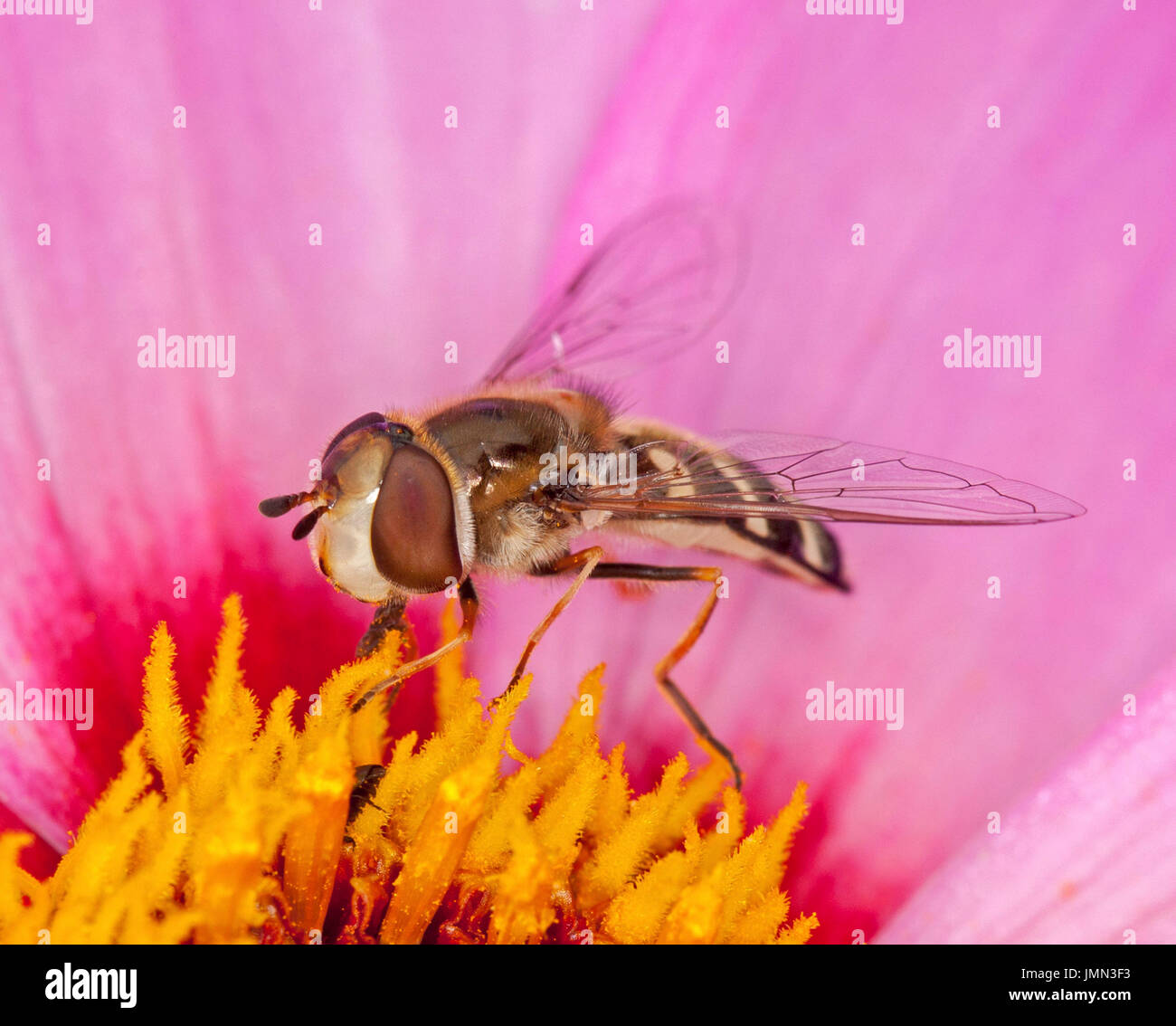 Hoverfly, with huge eyes clearly visible, a beneficial insect pollinator on pink dahlia flower in English garden - Stock Image