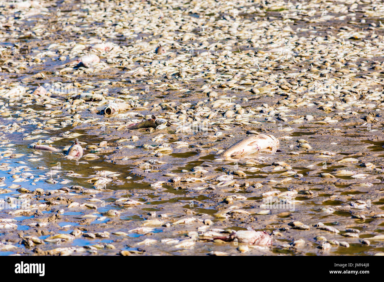 Dead fish after lake drainage and dredging at Royal Lake Park in Fairfax, Virginia - Stock Image