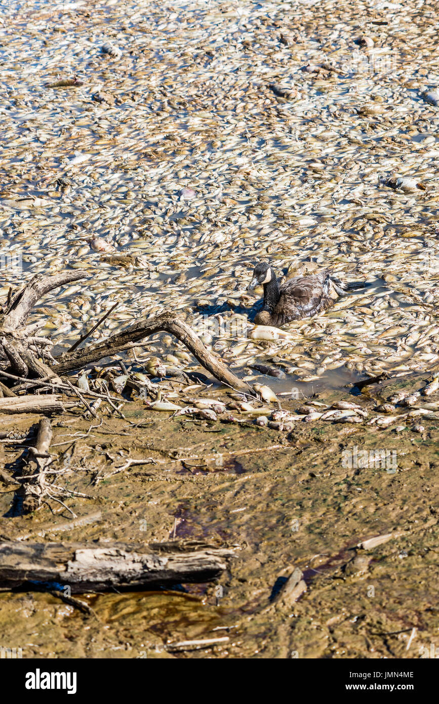 Dead fish and sick goose after lake drainage and dredging at Royal Lake Park in Fairfax, Virginia - Stock Image