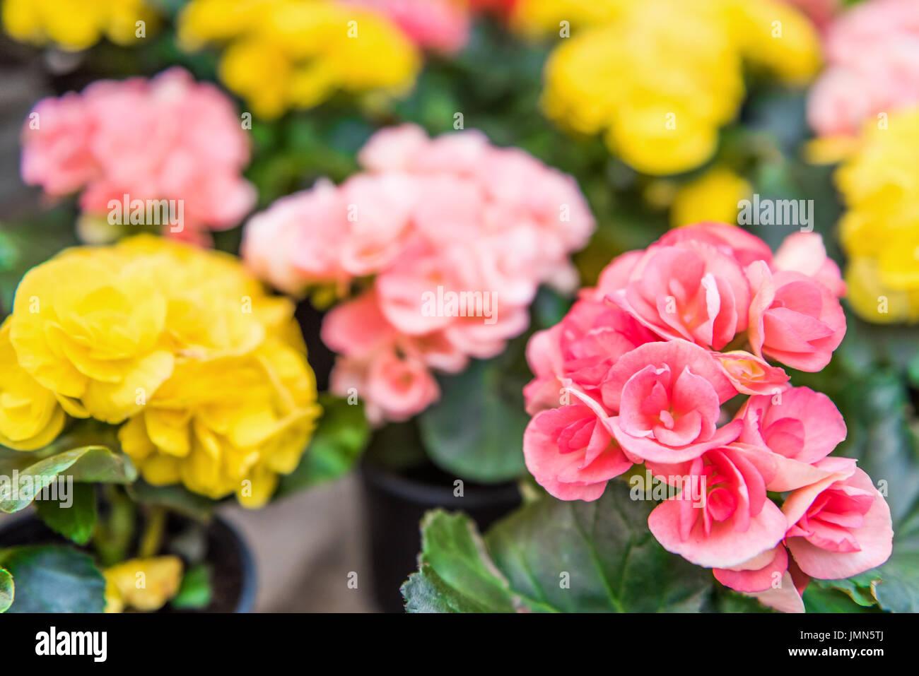 Hiemalis Begonia Yellow And Pink Flowers Macro Closeup Stock Photo