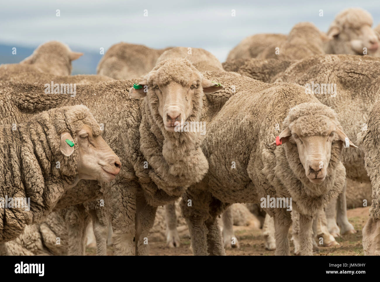 Australian Merino Sheep grazing in rural New South Wales,Australia. - Stock Image