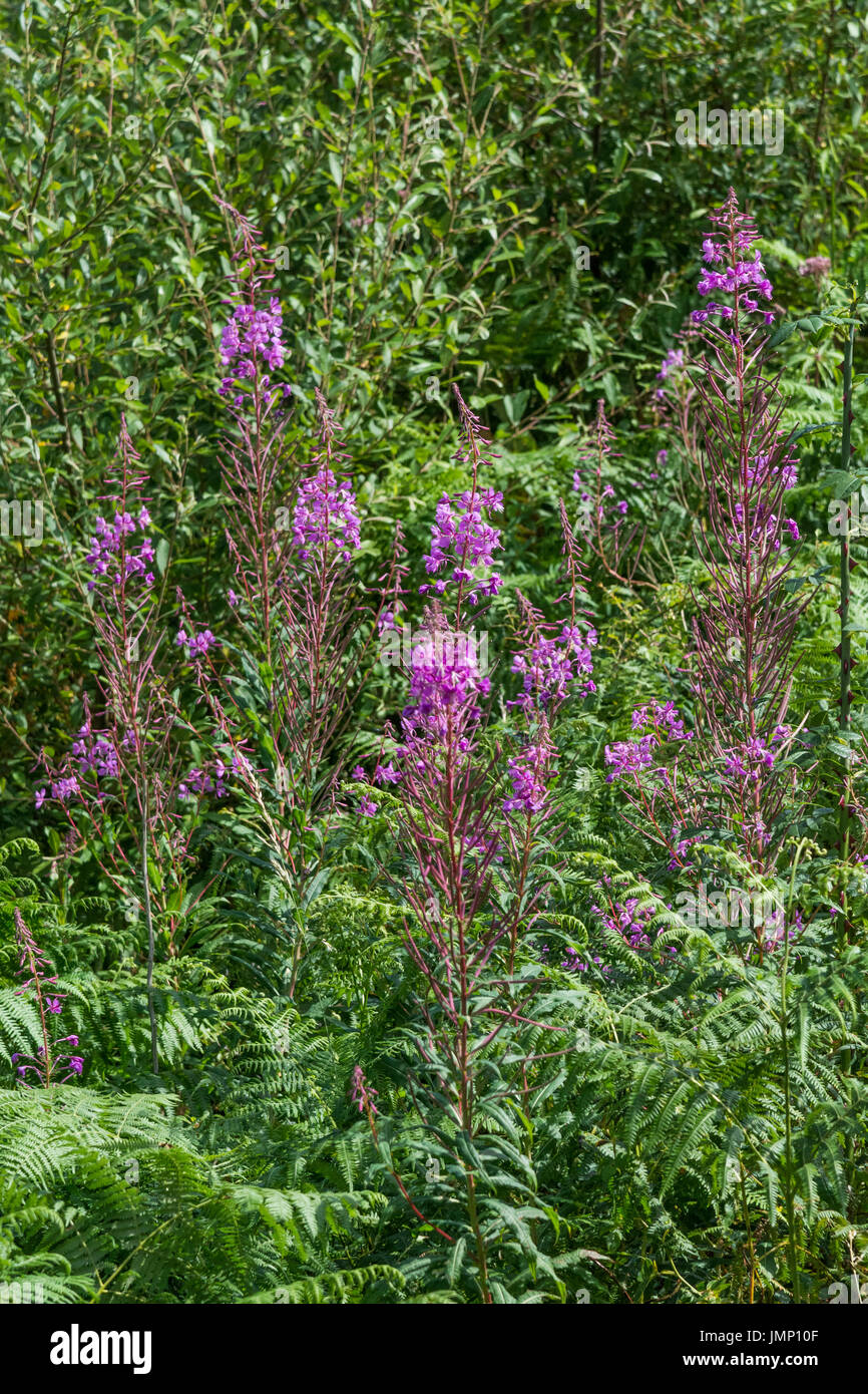 Rosebay Willowherb / Epilobium angustifolium colony beside a roadside hedge. Young leaves may be eaten cooked. Stock Photo