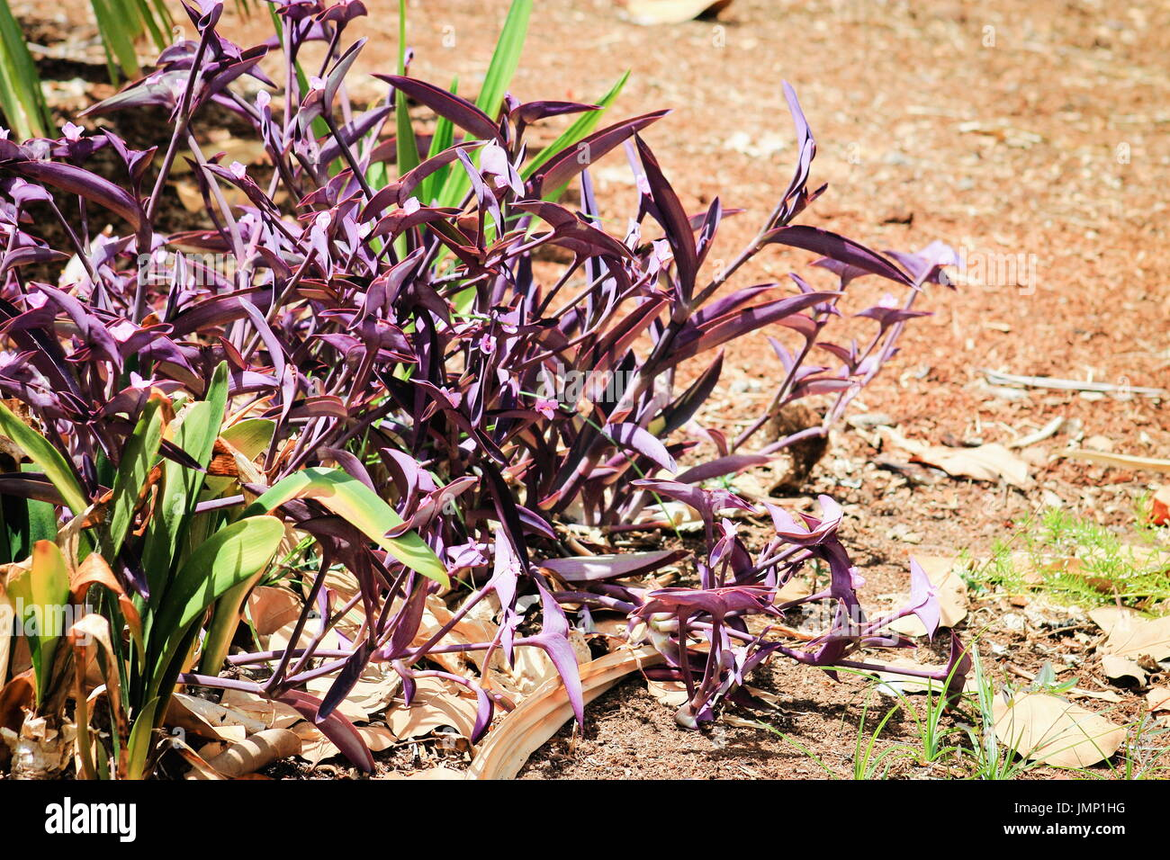 Tradescantia pallida is a species of spiderwort more commonly known as wandering jew - Stock Image