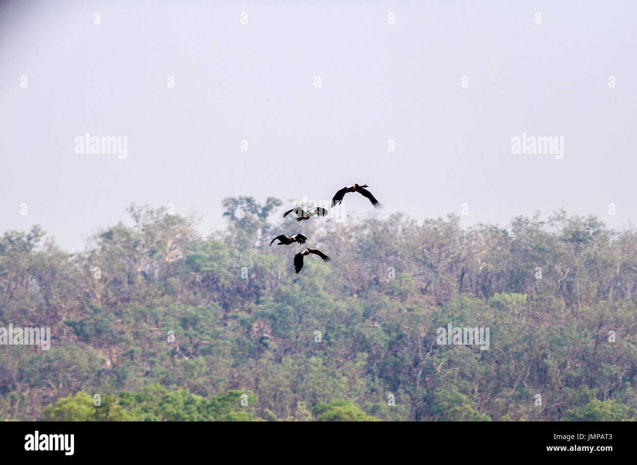 a flock of magpie geese flying over background of  trees and overcast sky ready to land on water. - Stock Image