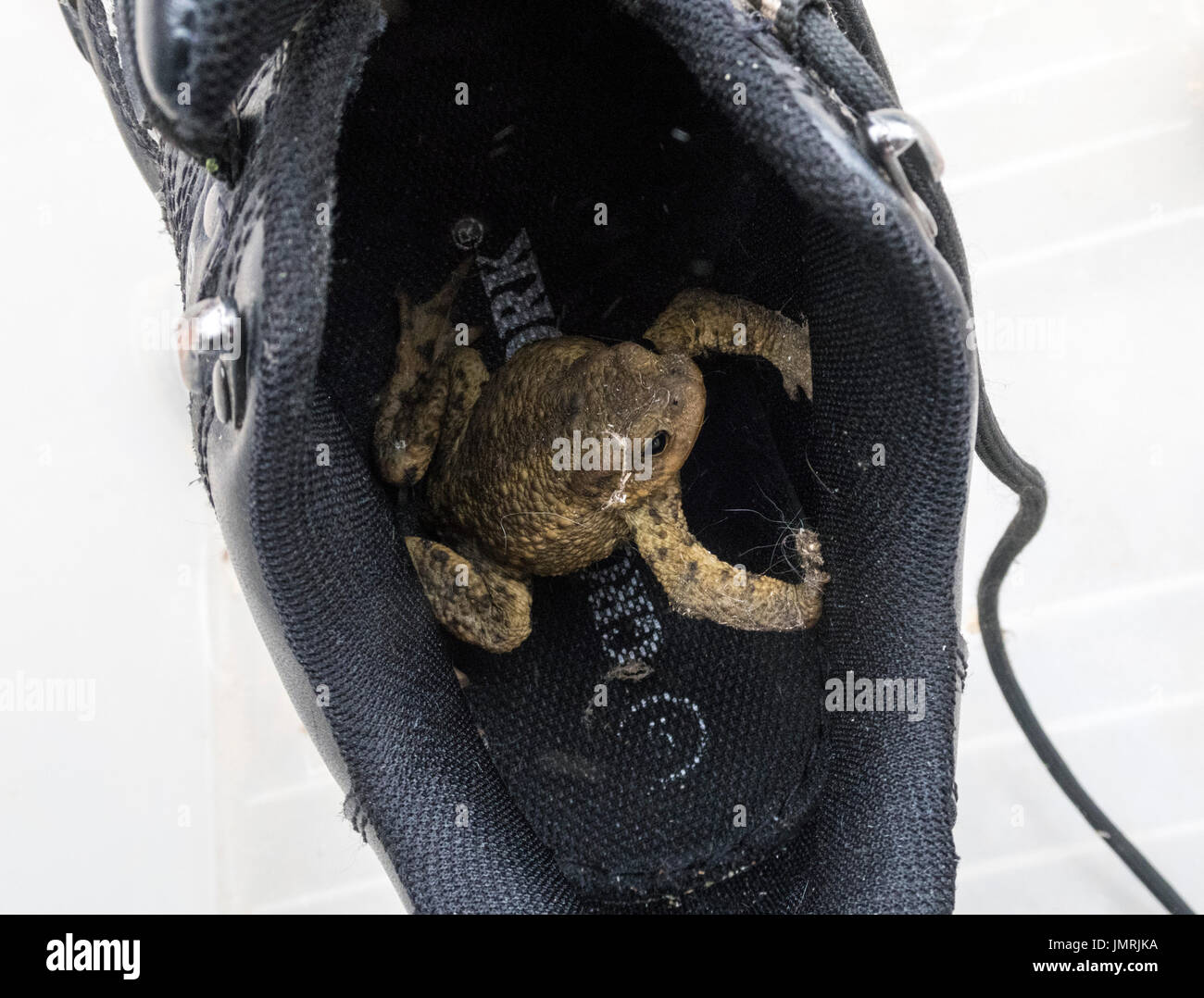 A common toad which has set up home in a gardening boot. - Stock Image