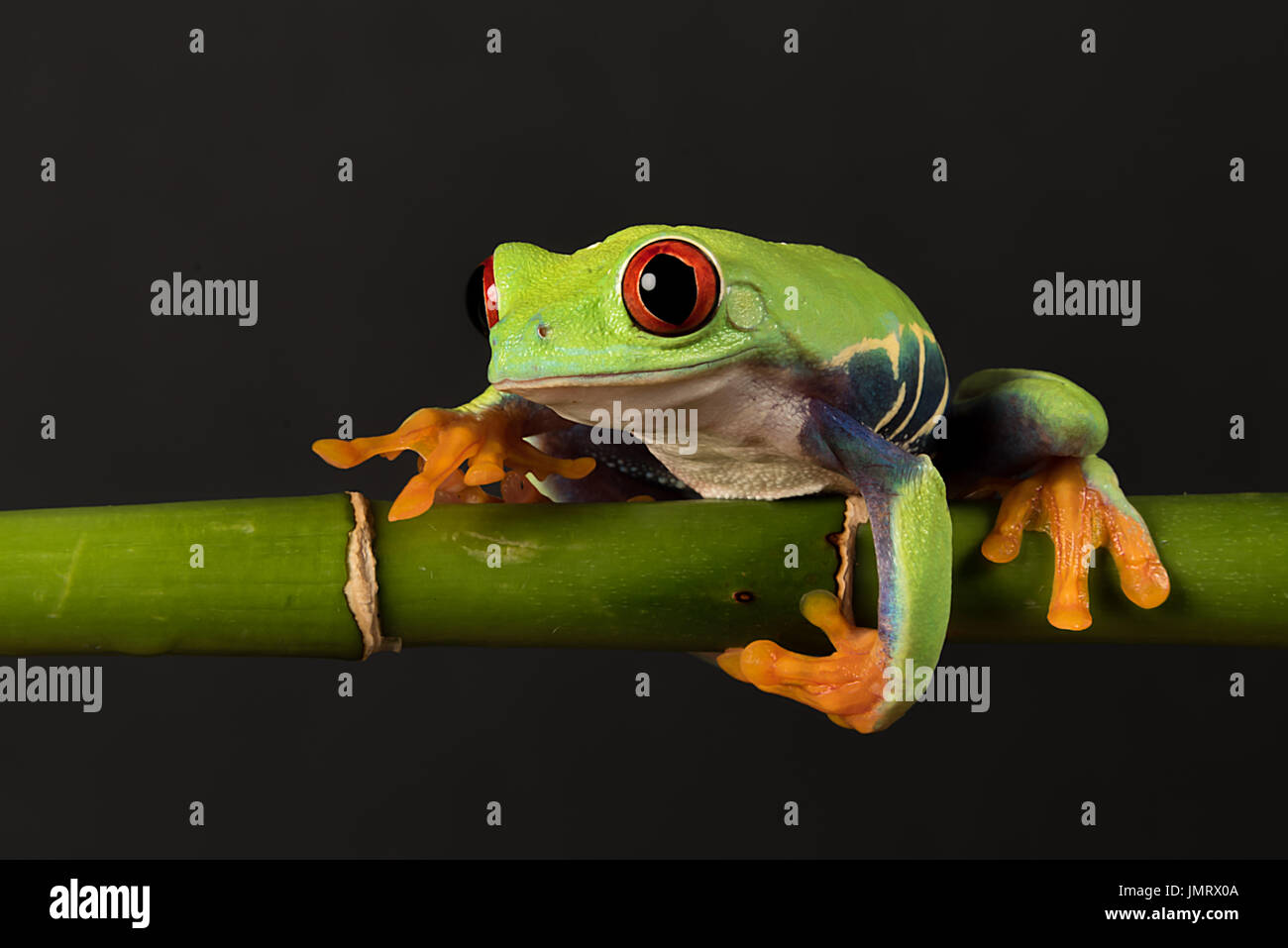 A close photograph of a red eyed tree frog balancing on a bamboo shoot against a black background - Stock Image