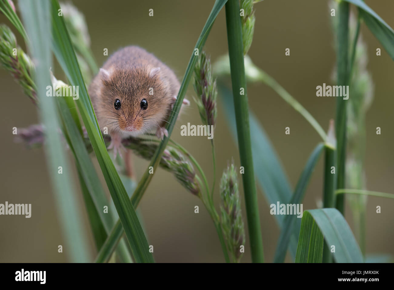 A small harvest mouse climbing up shoots of grass looking forward towards the viewer - Stock Image