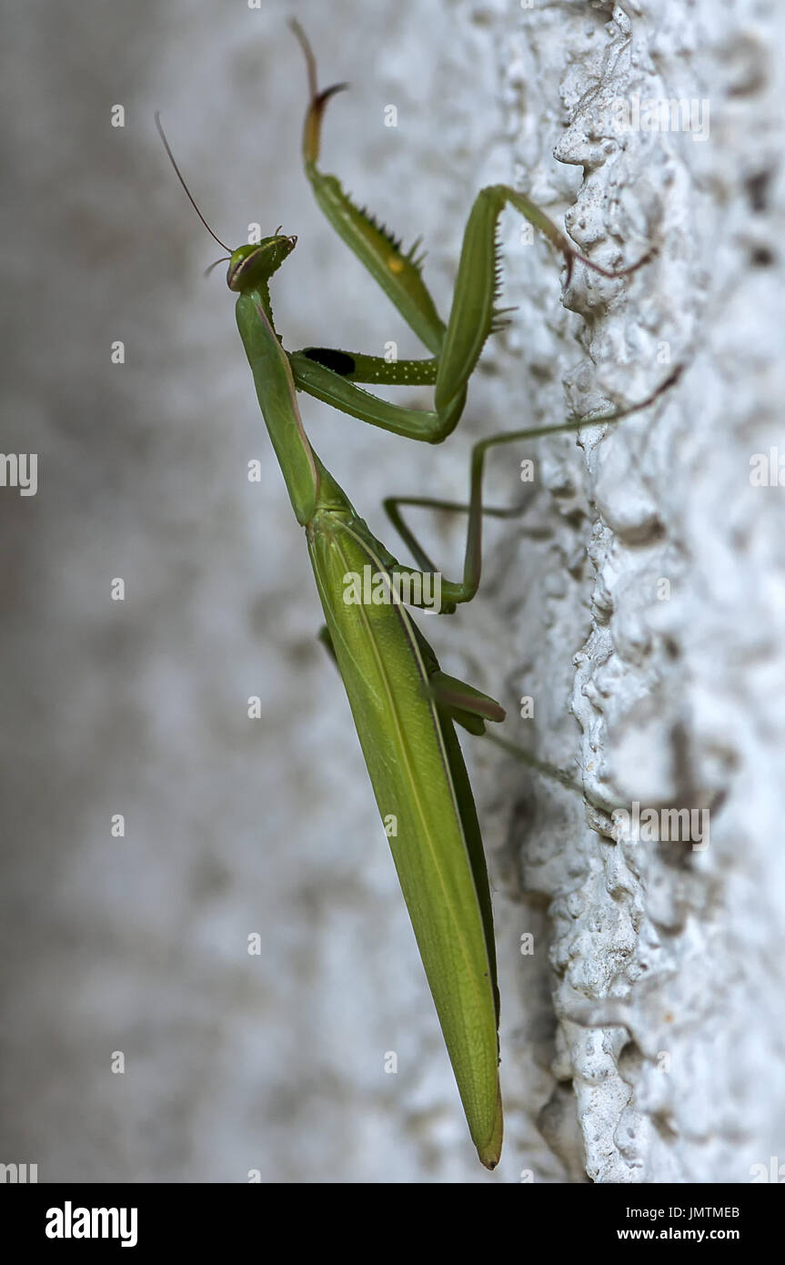 Closeup of a Praying Mantis climbing on a wall. Shallow depth of field. - Stock Image
