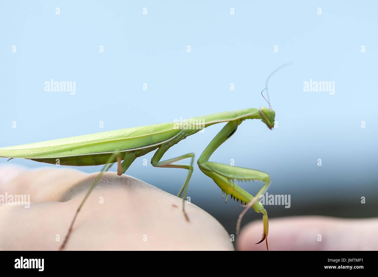 Closeup of a Praying Mantis. Shallow depth of field. - Stock Image