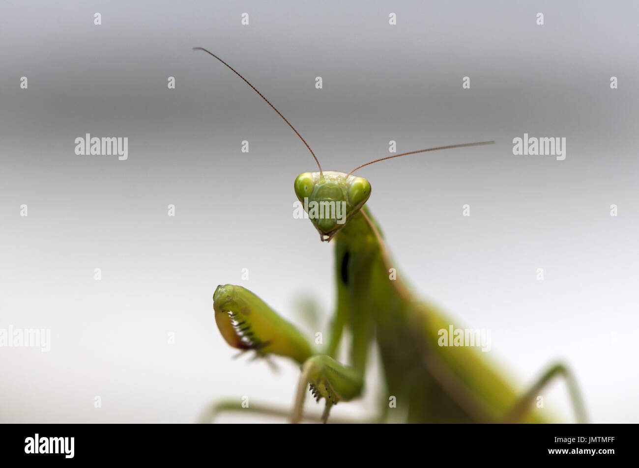 Closeup of a Praying Mantis. Shallow depth of field. - Stock Image