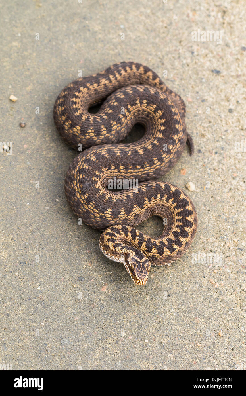 Brown female of Common European Adder, Vipera berus, on dirt road, picture from above - Stock Image